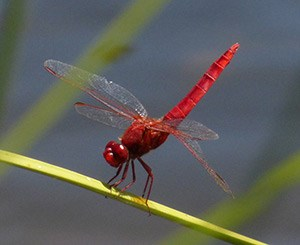 Dragonflies+ in Madrid & Extremadura: June 2014 Trip Report (Part 2)